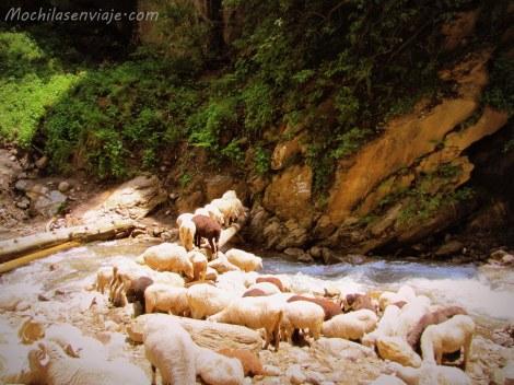 ... hasta las ovejas iban a Khir Ganga