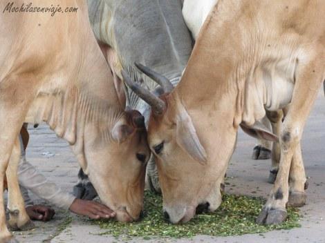 Tan importantes son las vacas que mucha gente las alimenta en las calles
