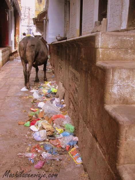 Los laberintos de Varanasi llenos de basura y vacas.