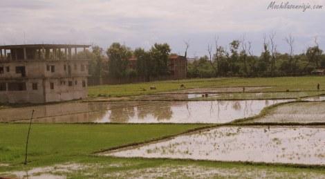 Vista de la ventana: plantaciones de arroz