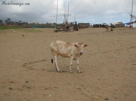 Las vacas también lucian relajadas