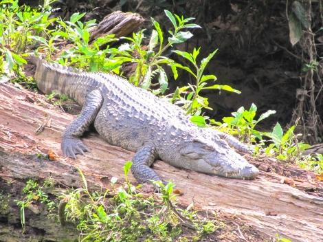 Encuentro con un cocodrilo en Khao Yai.