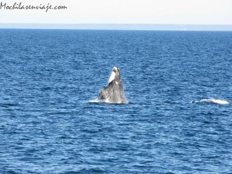 Ballena - Puerto Madryn
